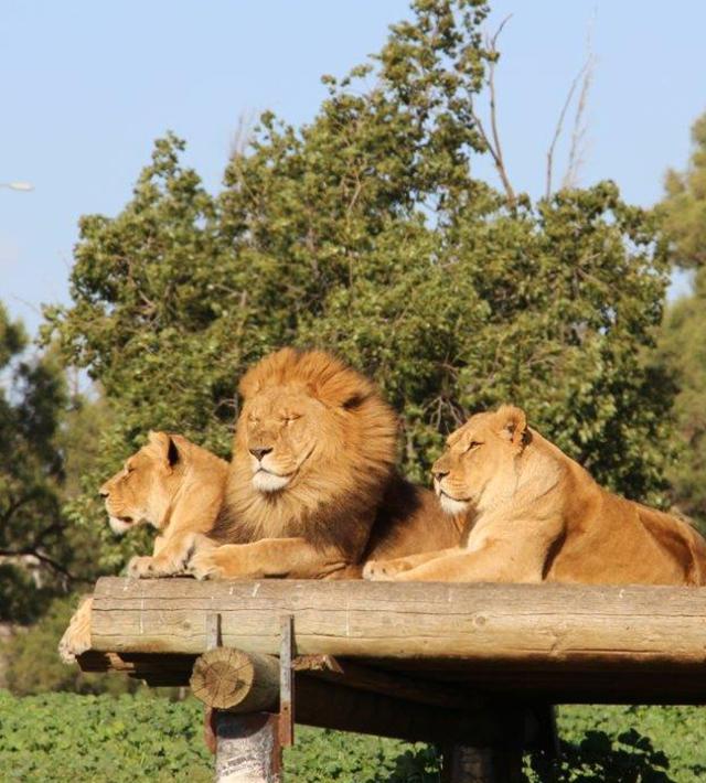 אריות